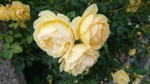 イエローのバラ