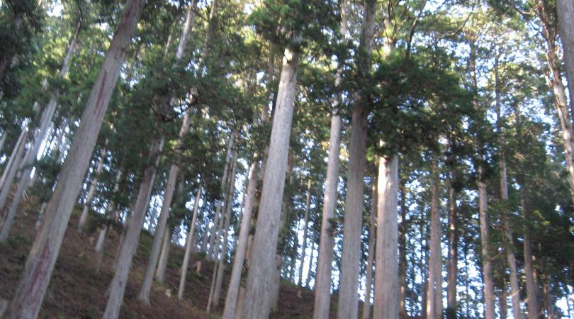 吉野杉(奥吉野・下多古)