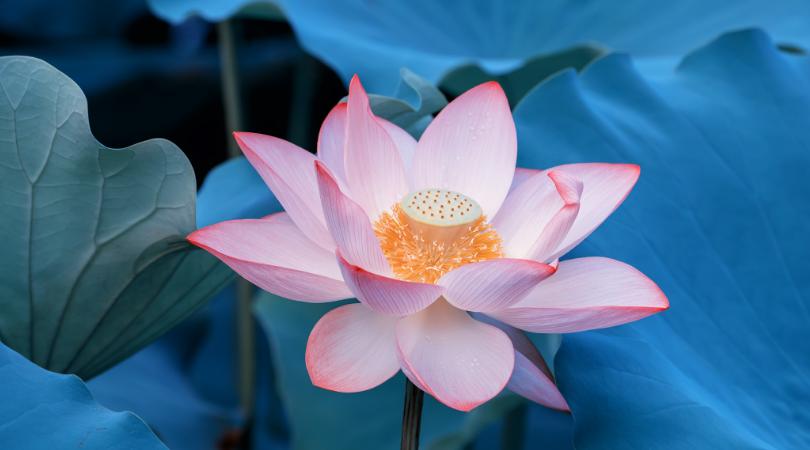 画像に alt 属性が指定されていません。ファイル名: Lotus-blue-1.png